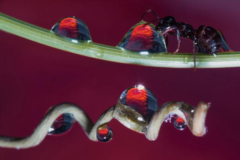Macro mier die aan een druppel likt fotograaf Aad Vogel